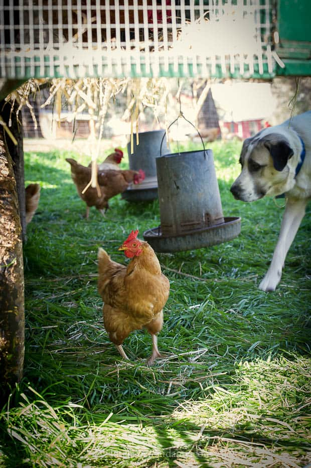 Diestel Turkey Ranch | Kitchen Confidante | Chicken and Farm Dog
