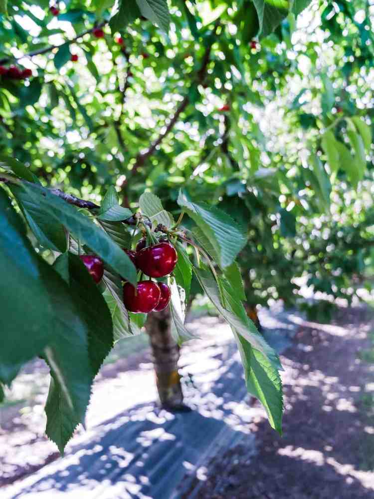 Cherries ripe on the tree in an orchard in Brentwood, California as part of a guide to u-pick cherries in the Bay Area.