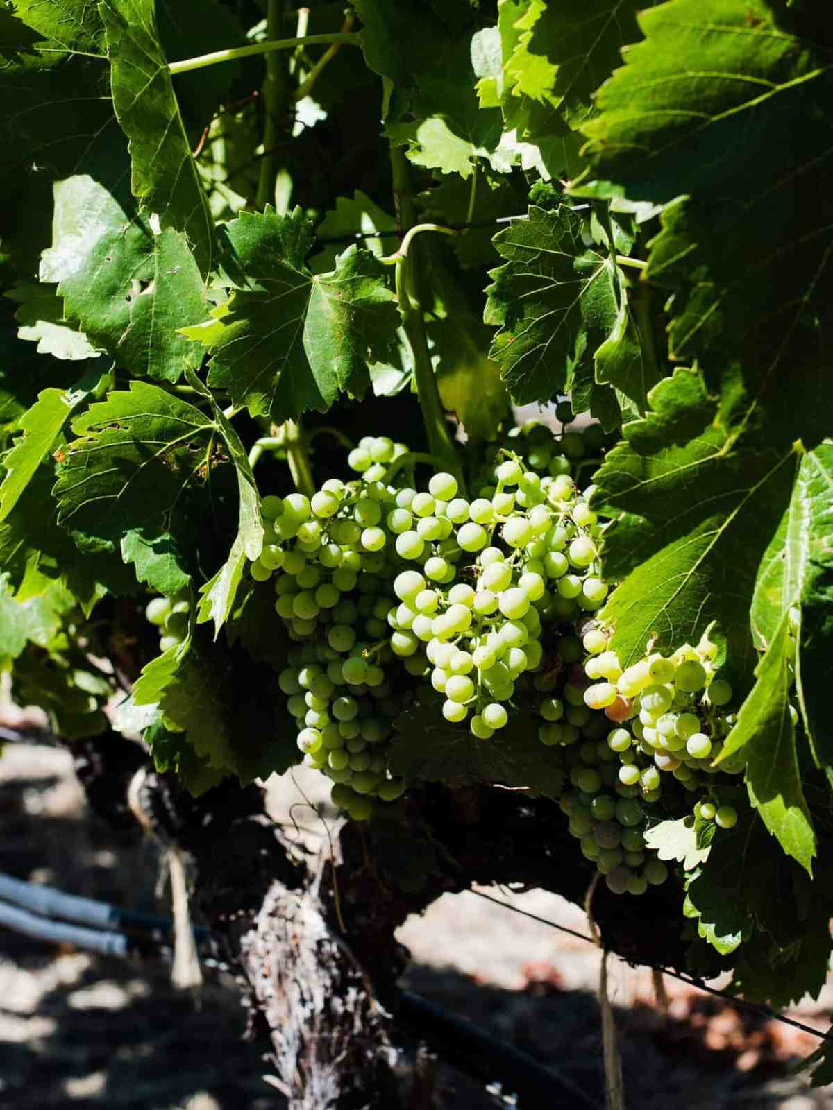 Green grapes growing on the vine at a winery.