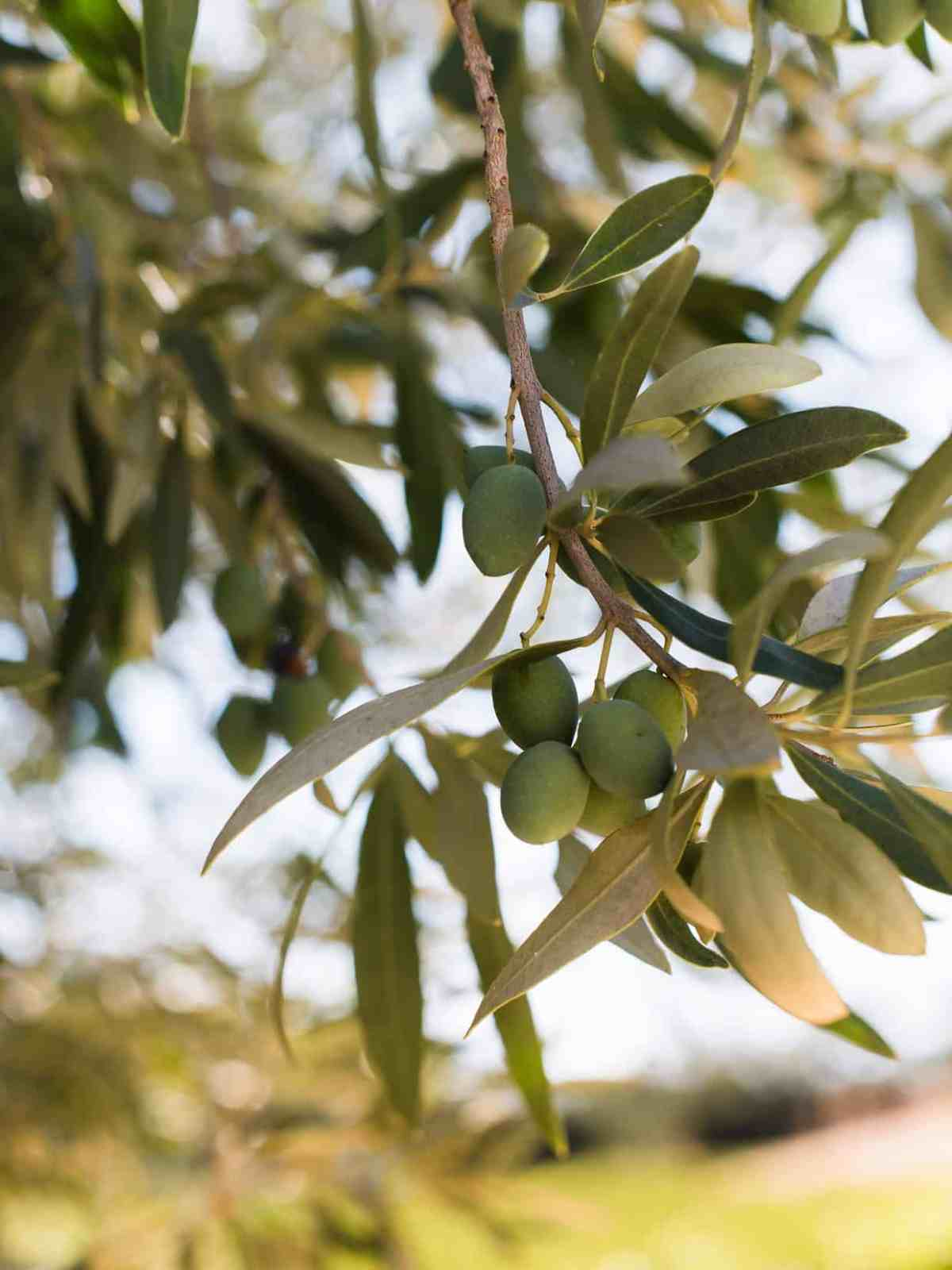 Close up of olives growing on a tree branch.