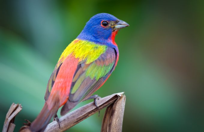 Painted Bunting Birds