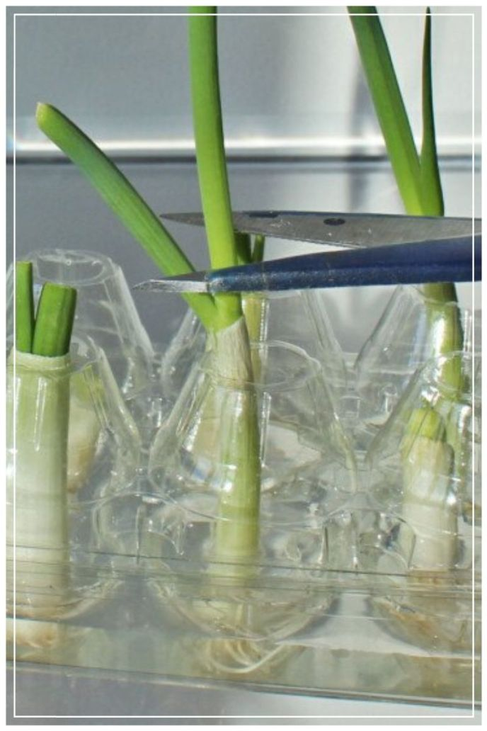 Growing Onion
