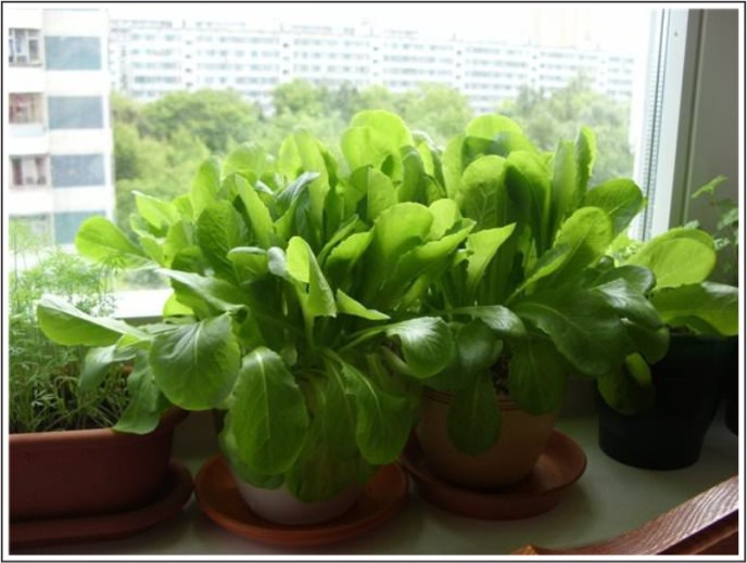 Growing Spinach