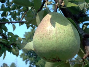 Healthy Pear Dessert