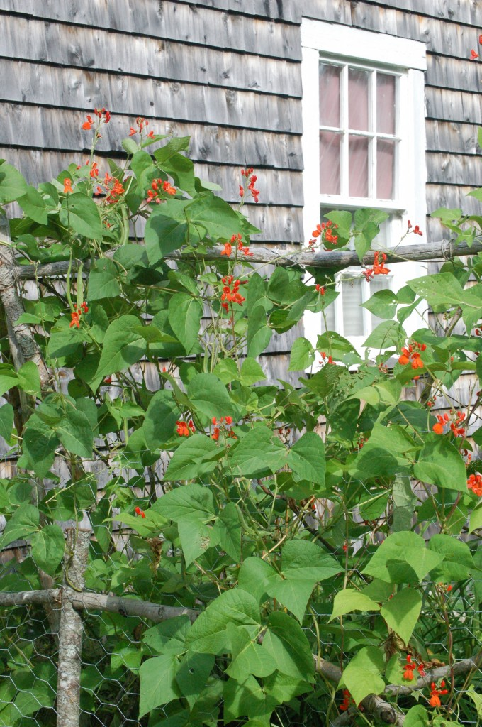 Scarlet Runner Beans barn side. These have grown really well. If you garden, you must try them. Unless you're in the desert. Then don't try them.