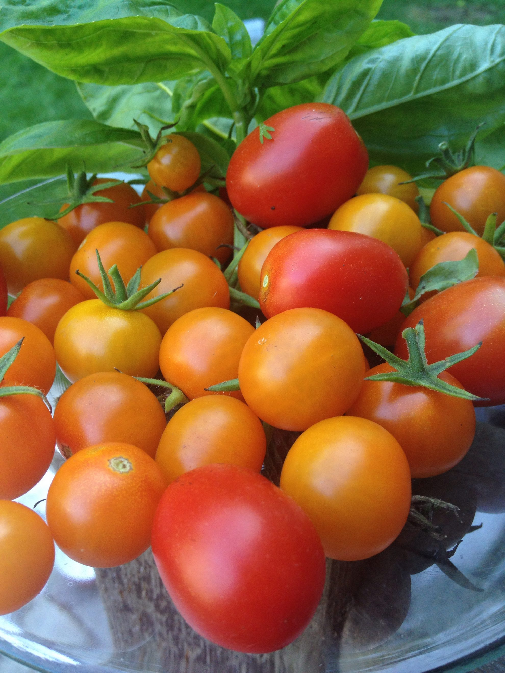 Finally, harvest season time has arrived in Maine. I picked all of these tiny orangey yellow Sungold tomatoes in one go last night in the garden. There are a few plum-size tomatoes as well, which are really good but whose strain I cannot remember.