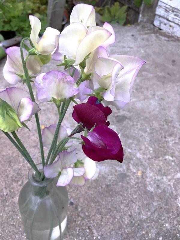 glass vase full of sweet pea blossoms