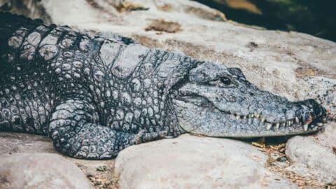 alligator laying on rocks