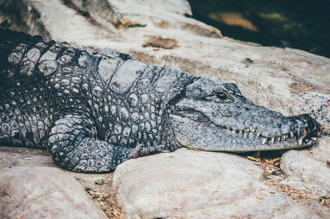 alligator laying on rocks