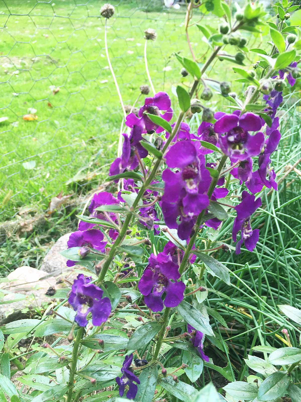 purple flowers in a green yard