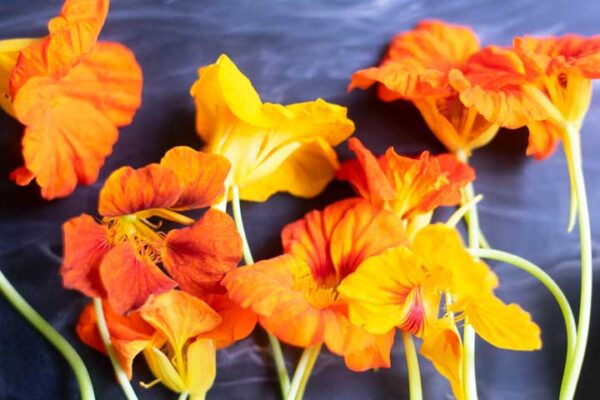 nasturtium blossoms in yellow and orange