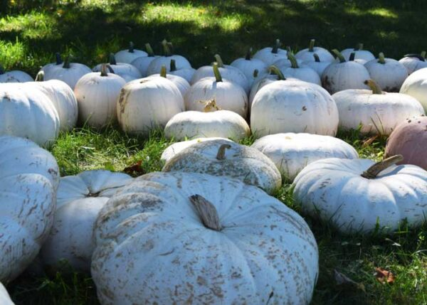 white pumpkins in a field of green grass