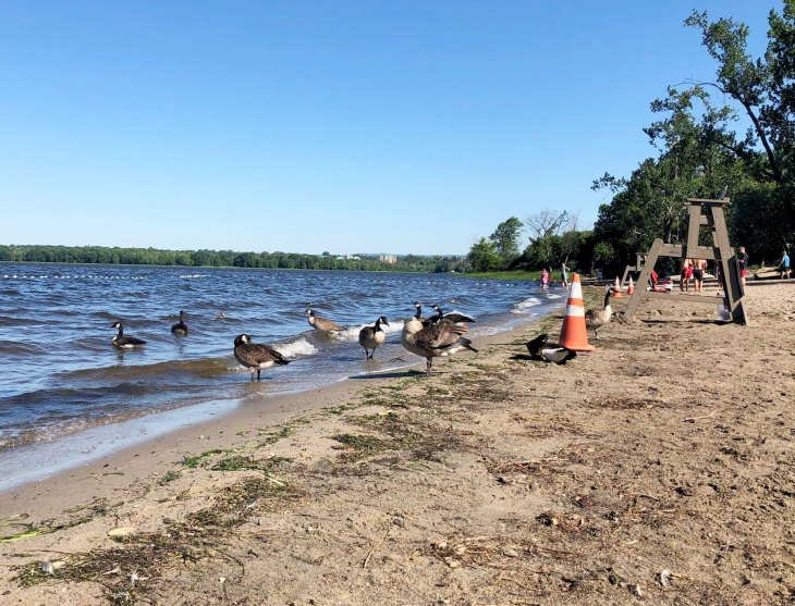 A photo of ducks and geese on Westboro Beach in the early morning on July 28, 2020.