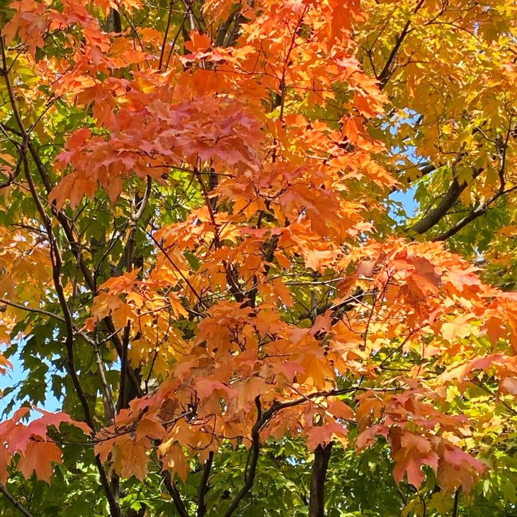 A photo of a tree in Kitchissippi with vibrant fall colours.