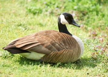 A goose relaxes in the park. Photo by Ellen Bond.