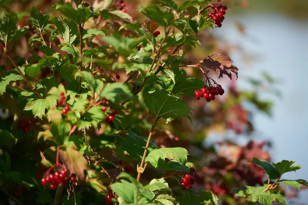 Green and red berries are seen on a tree in September on a sunny day