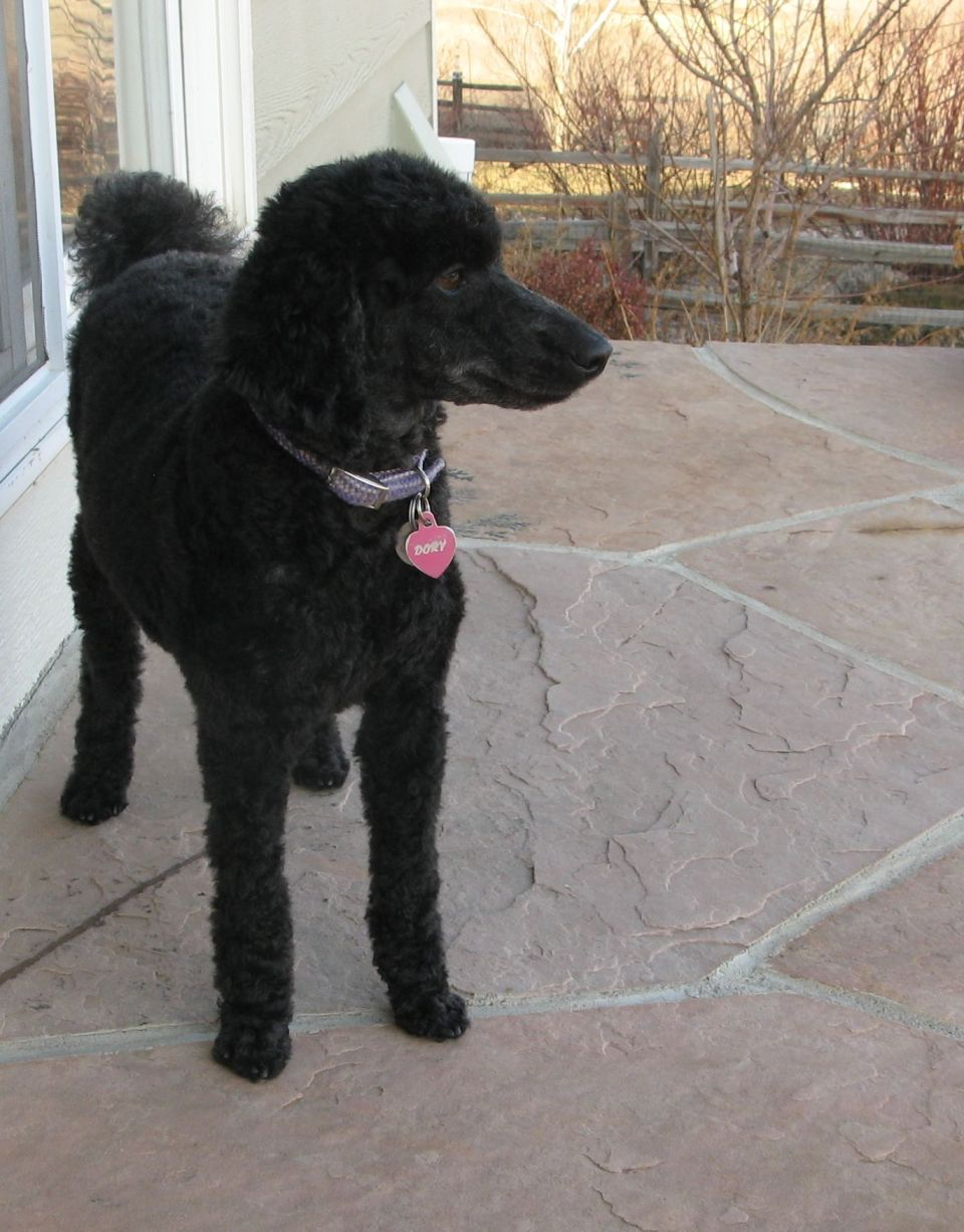 Black miniature poodle standing on a patio. Photo by Kit Dunsmore