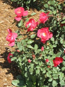 One of the rose bushes in our Colorado yard.