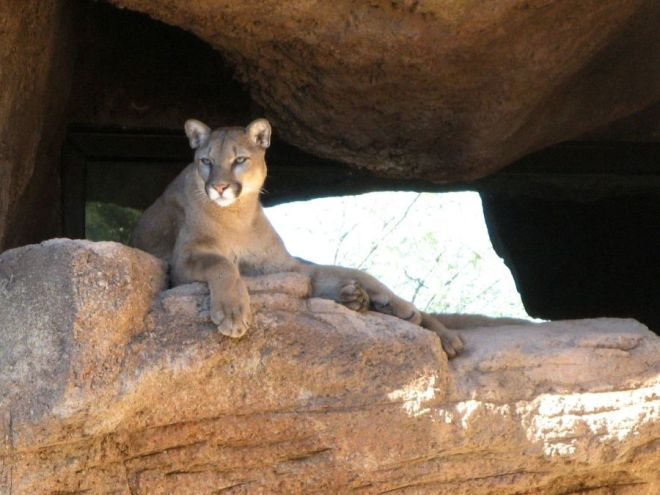 Mountain lion, photo by Kit Dunsmore