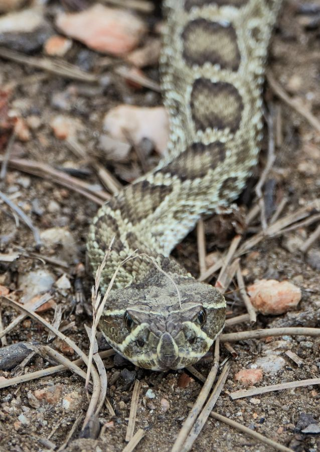 Close-up of a rattlesnake; photo by Kurt Fristrup