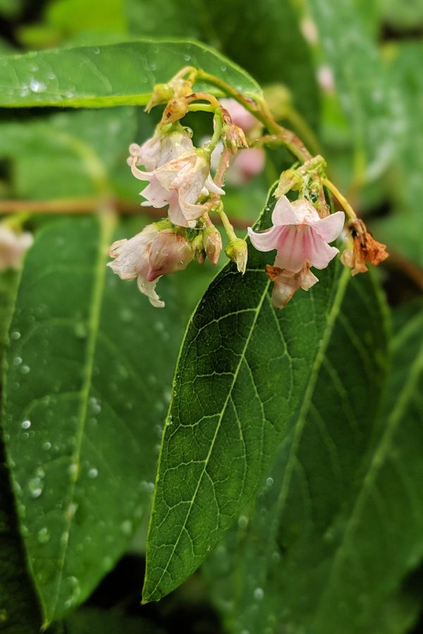 Pale pink bell-shaped wildflowers with green leaves. Spreading Dogbane (Apocynum androsaemifolium). Photo by Kit Dunsmore