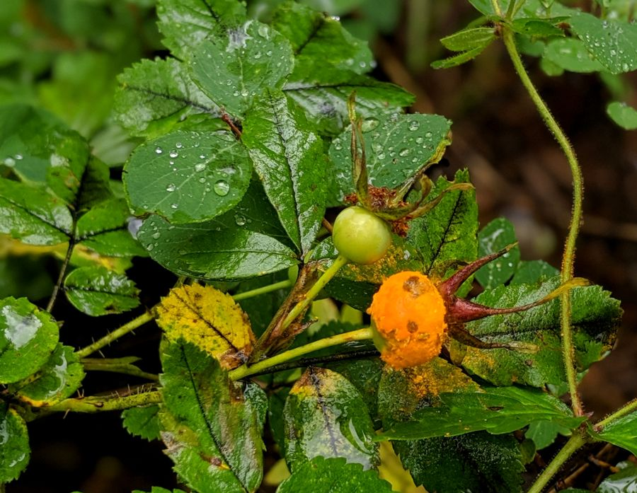 Wild Rose (Rosa woodsii) hips with rust fungus. Photo by Kit Dunsmore
