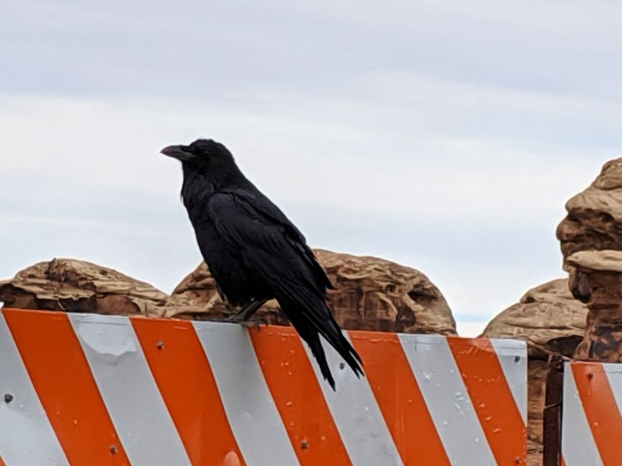 Common raven perched on a white and orange road barrier. Photo by Kit Dunsmore.