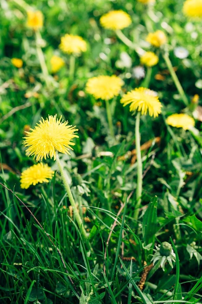Dandelion Flowers Grass  - viarami / Pixabay