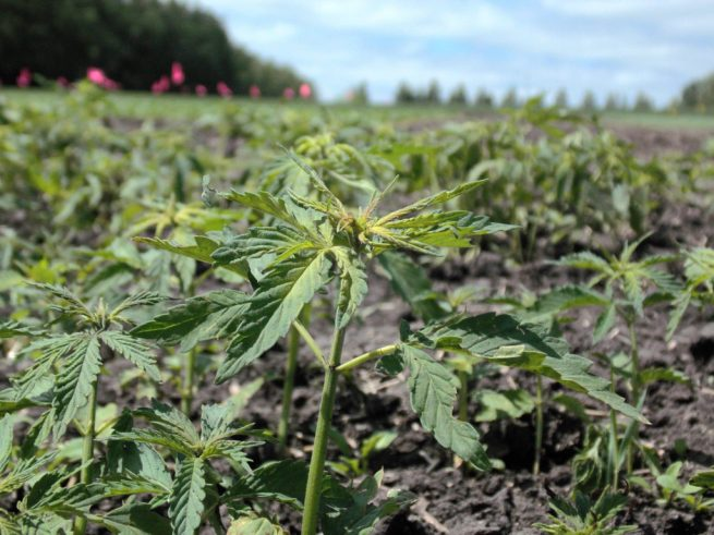 A field of young hemp plants. June 16, 2016. (Flickr / Lesley L.)