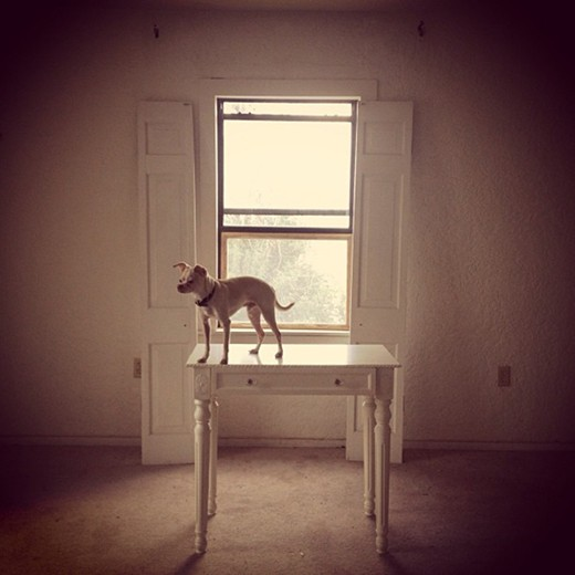 Chihuahua on a table
