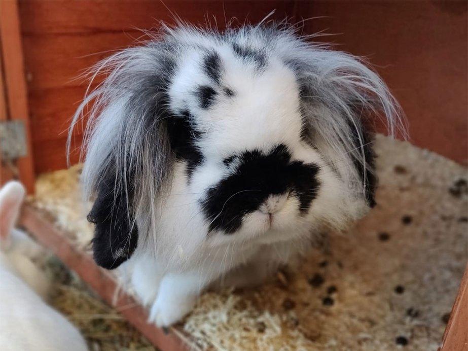 Wizzard the rabbit