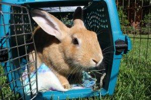 Rabbit in pet carrier