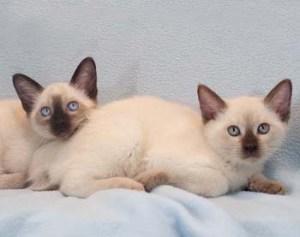 Siamese Kittens Kittentanz