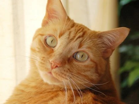 Image result for orange tabby female cats