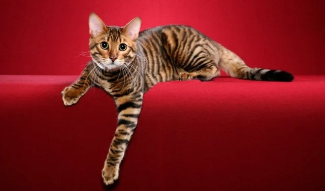 10 Of The Most Well Known Designer Cat Breeds