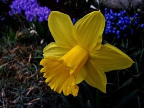 narcissus bulb poisonous to cats