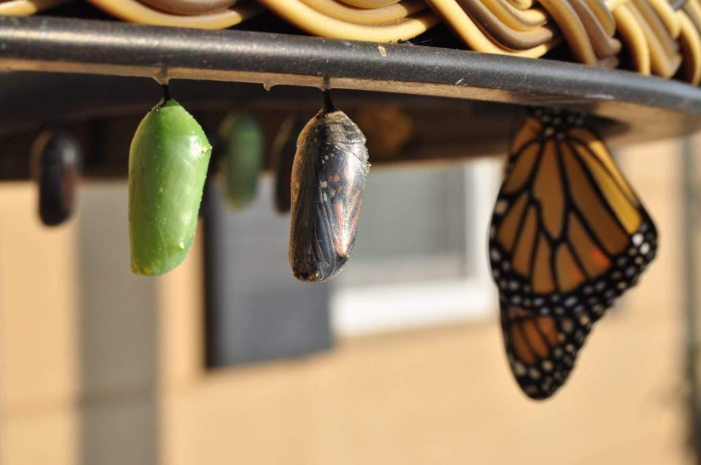 cocoons and butterfly emerging
