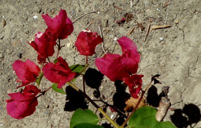 Bougainvillea Shadow Dirt