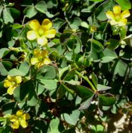 Cropped Oxalis Bunch