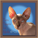 Chat Aux Sphynx