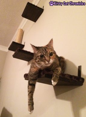 Delilah cat on shelves - Catification