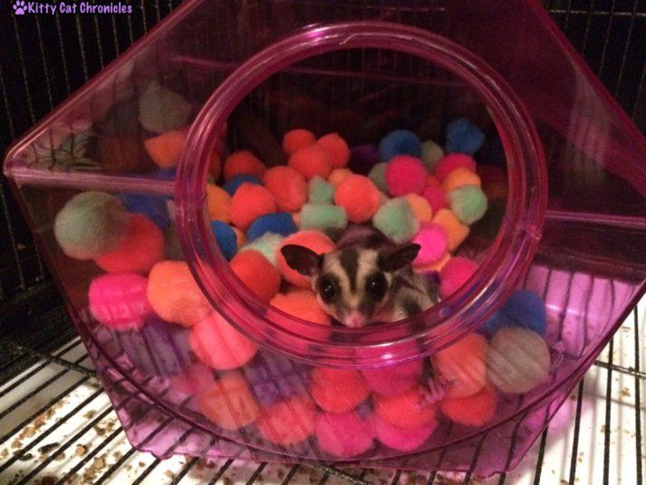 Jubie the sugar glider in ball pit