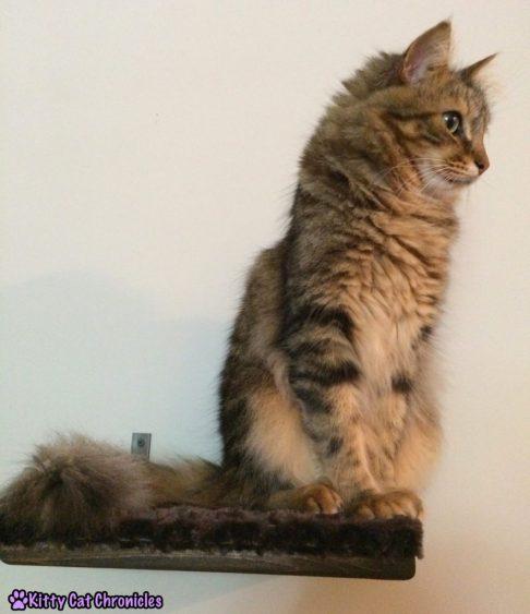 Caster cat on shelf, Caster's Big Performance