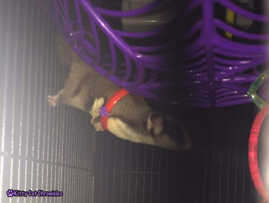 Sugar Glider with Ring Toy