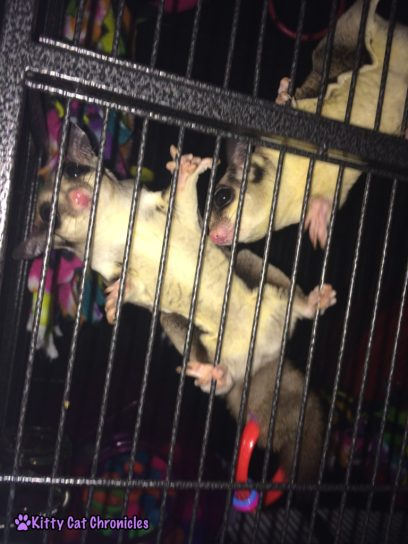 Sugar Glider Carrying Ring Toy with Tail