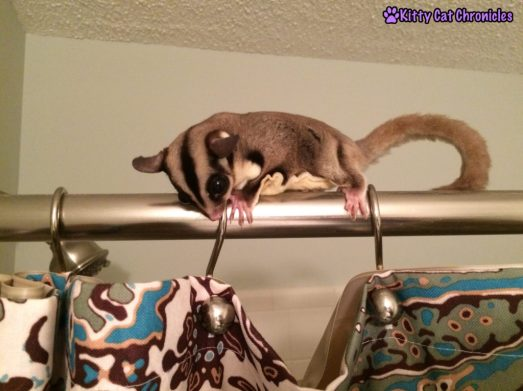 Jubilee the Sugar Glider on Shower Curtain Rod