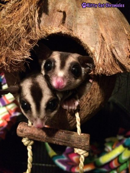 All of Your Sugar Glider Questions Answered: Jubilee & Sydney the Sugar Gliders in their Coconut