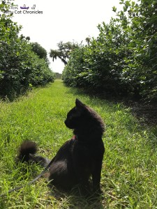 Kylo Ren Goes Blueberry Picking - cat at a blueberry farm