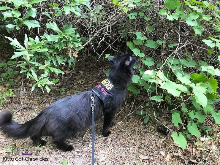 Sophie's Birthday Adventures - Brown's Mount & Amerson River Park - black cat hiking in woods