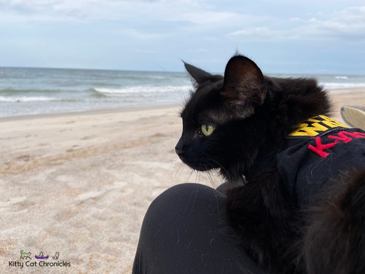 Florida Beach Days with Kylo Ren and Gryphon - cat on the beach